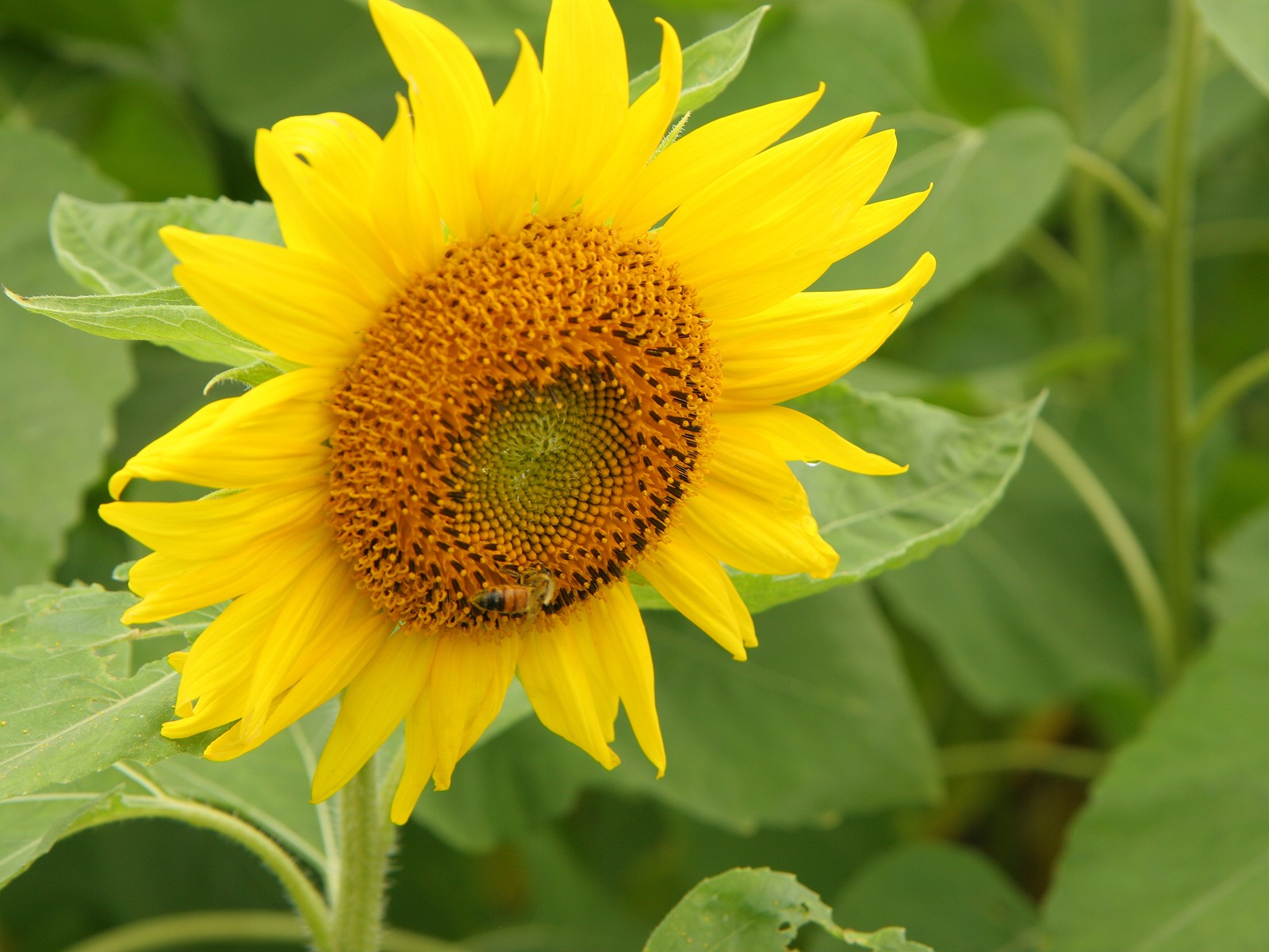 Sunflower Photo 9126