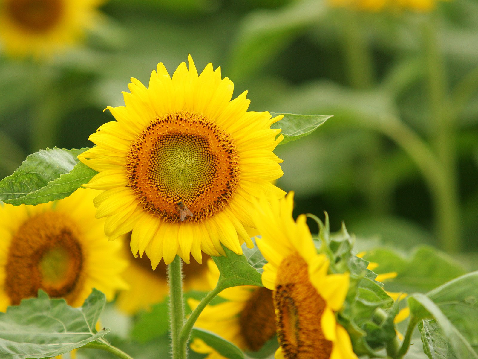 Sunflower Photo 9662