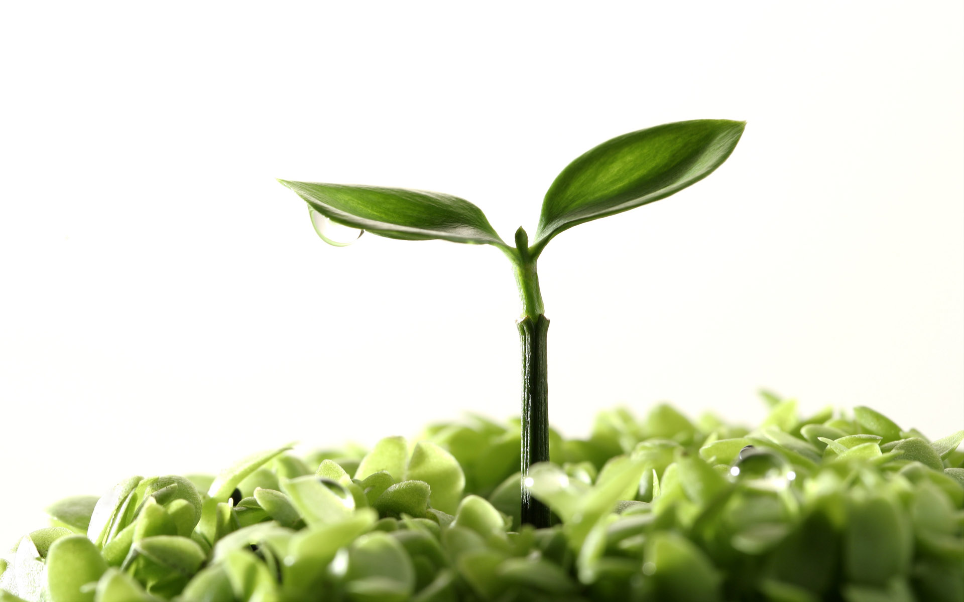 Sprouts leaves 8021