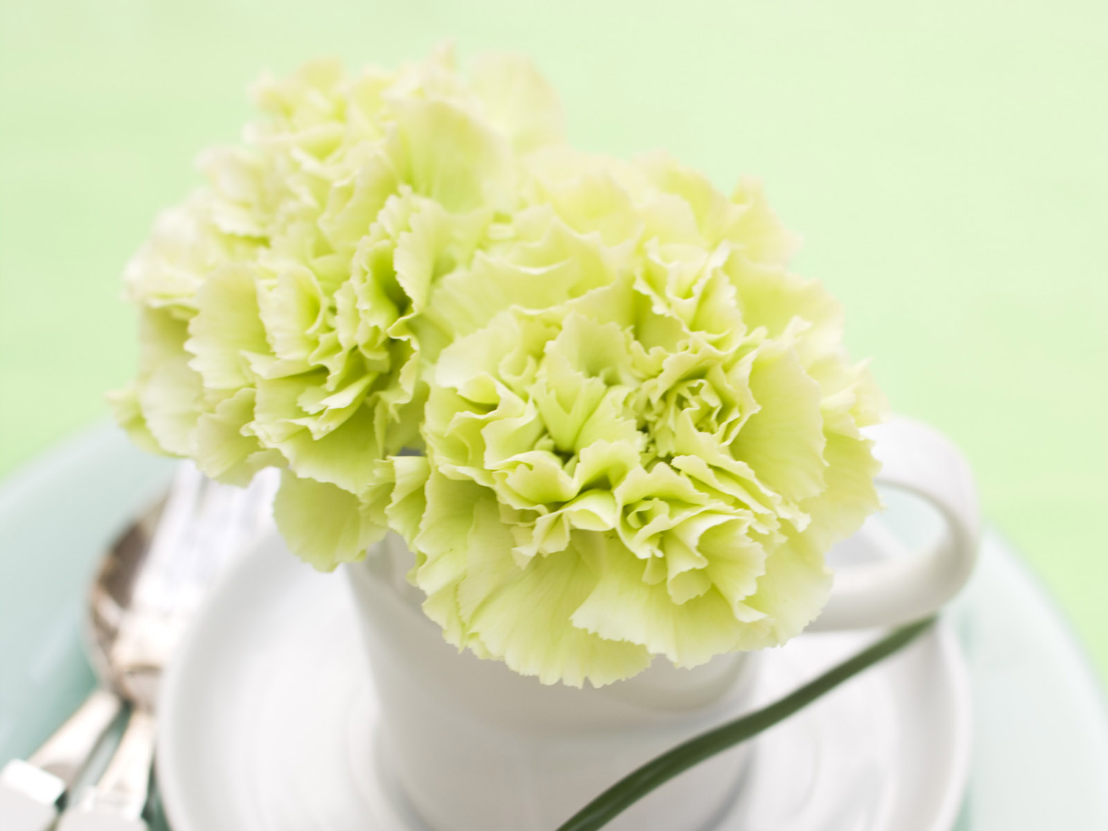 Carnation flowers 3454