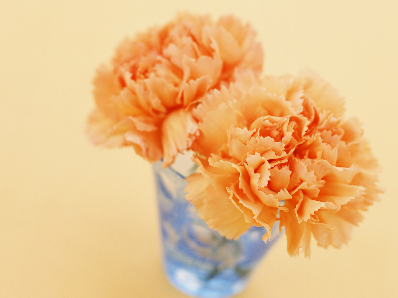 Carnation flowers 3604