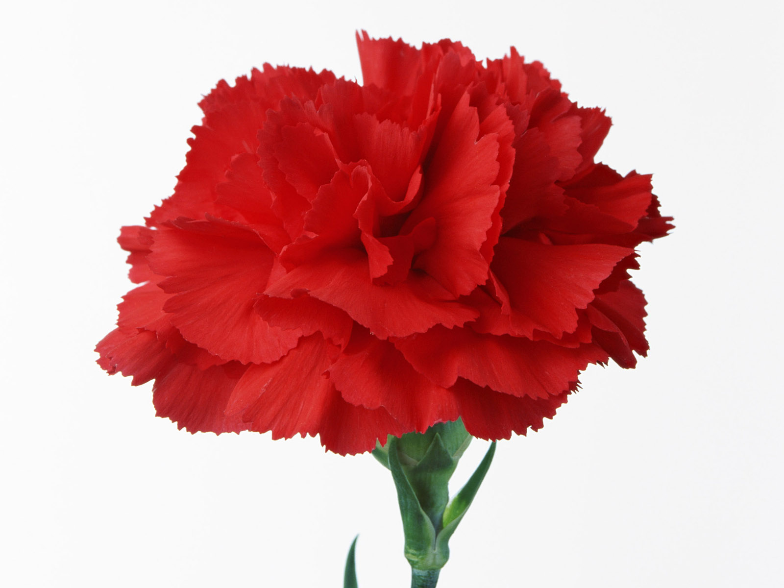 Carnation flowers 3752