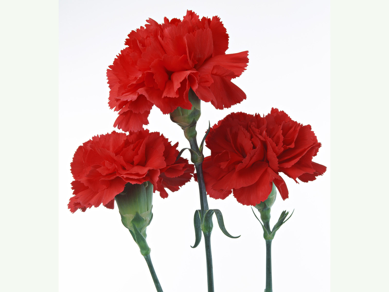 Carnation flowers 4341
