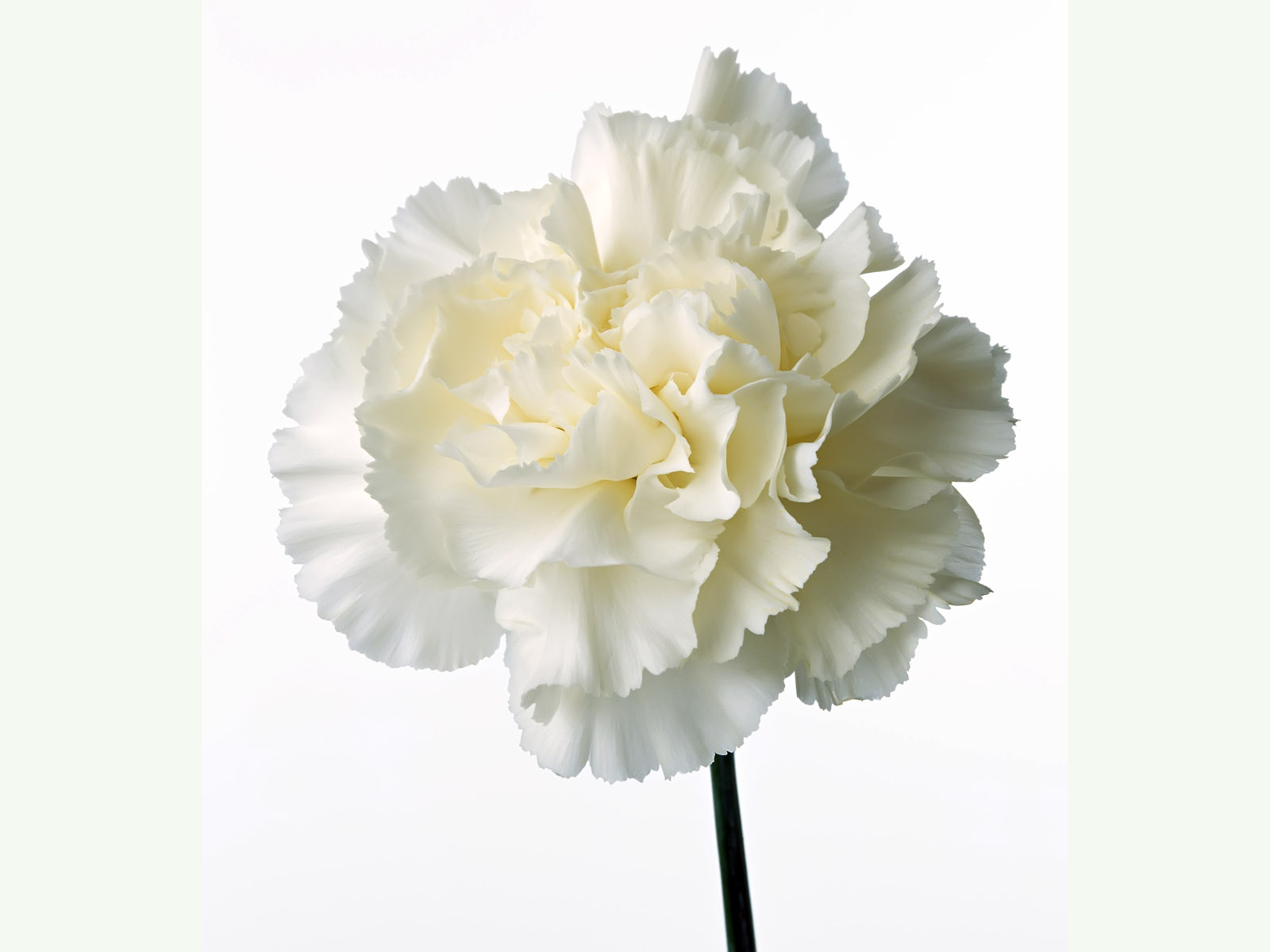 Carnation flowers 4634