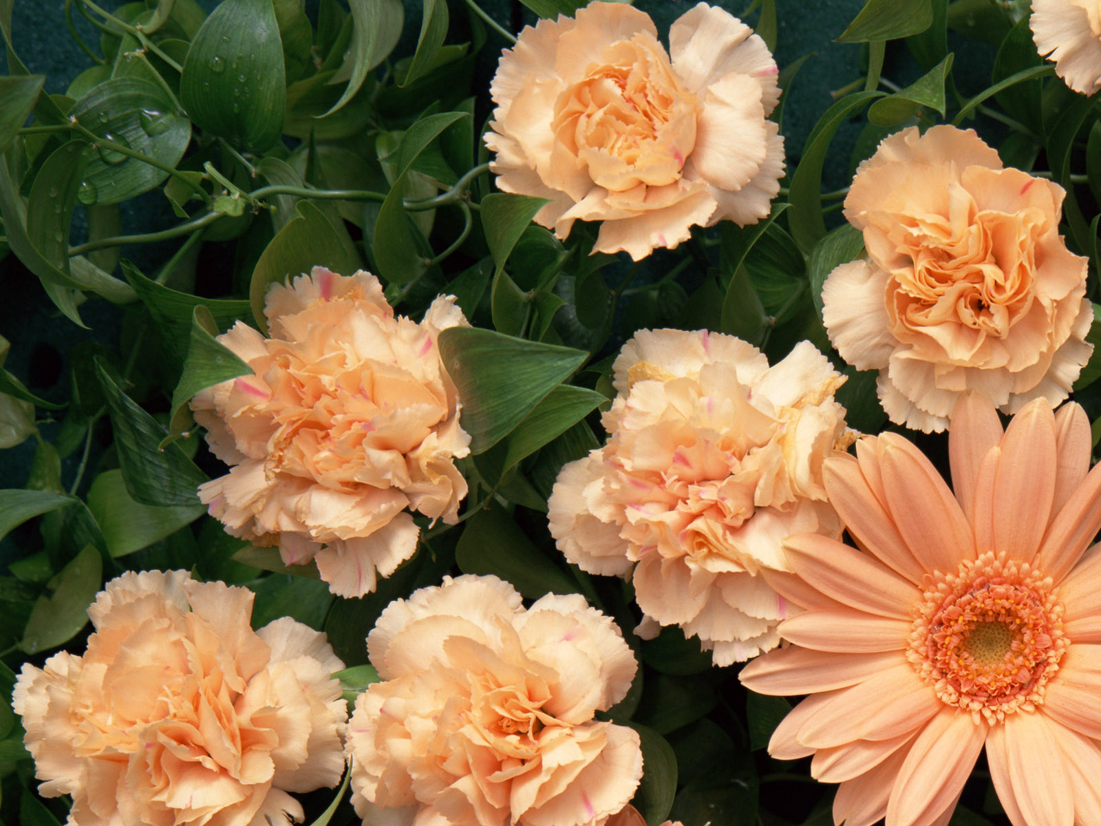 Carnation flowers 5209