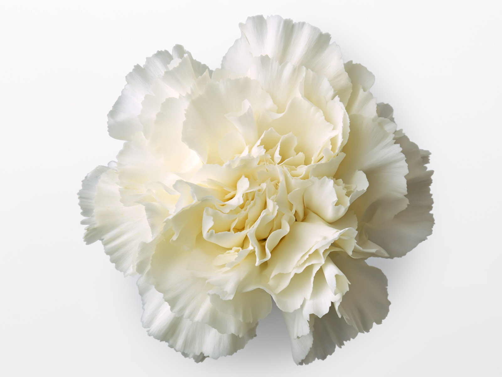 Carnation flowers 5636