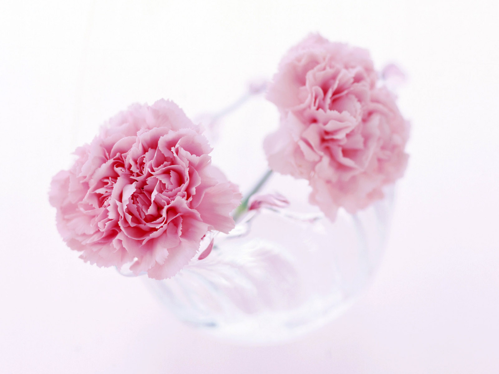 Carnation flowers 5919