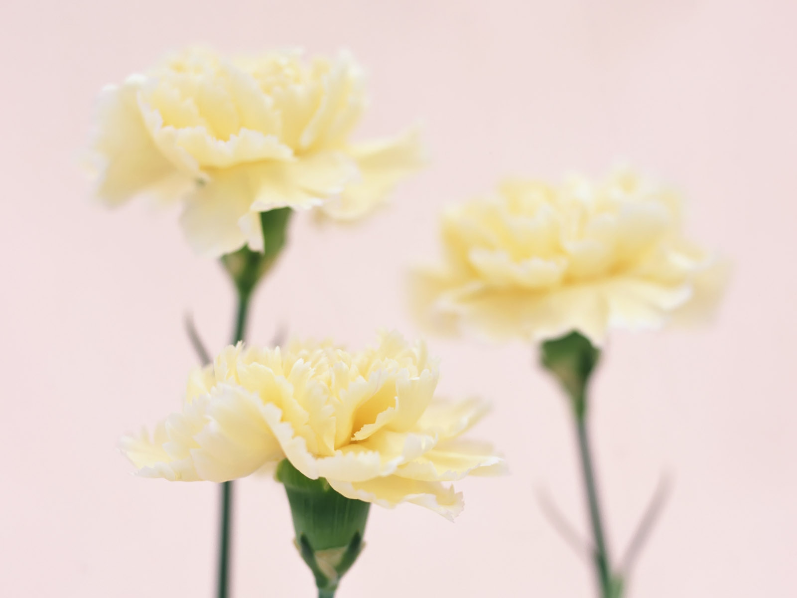 Carnation flowers 77