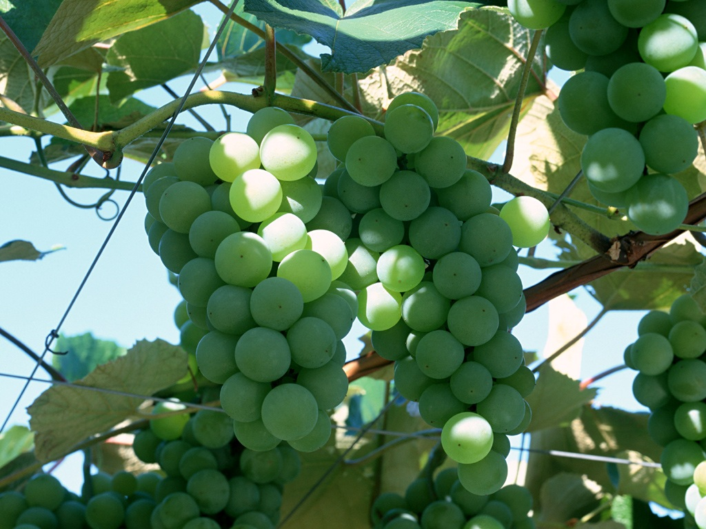 Grape Photo 4077