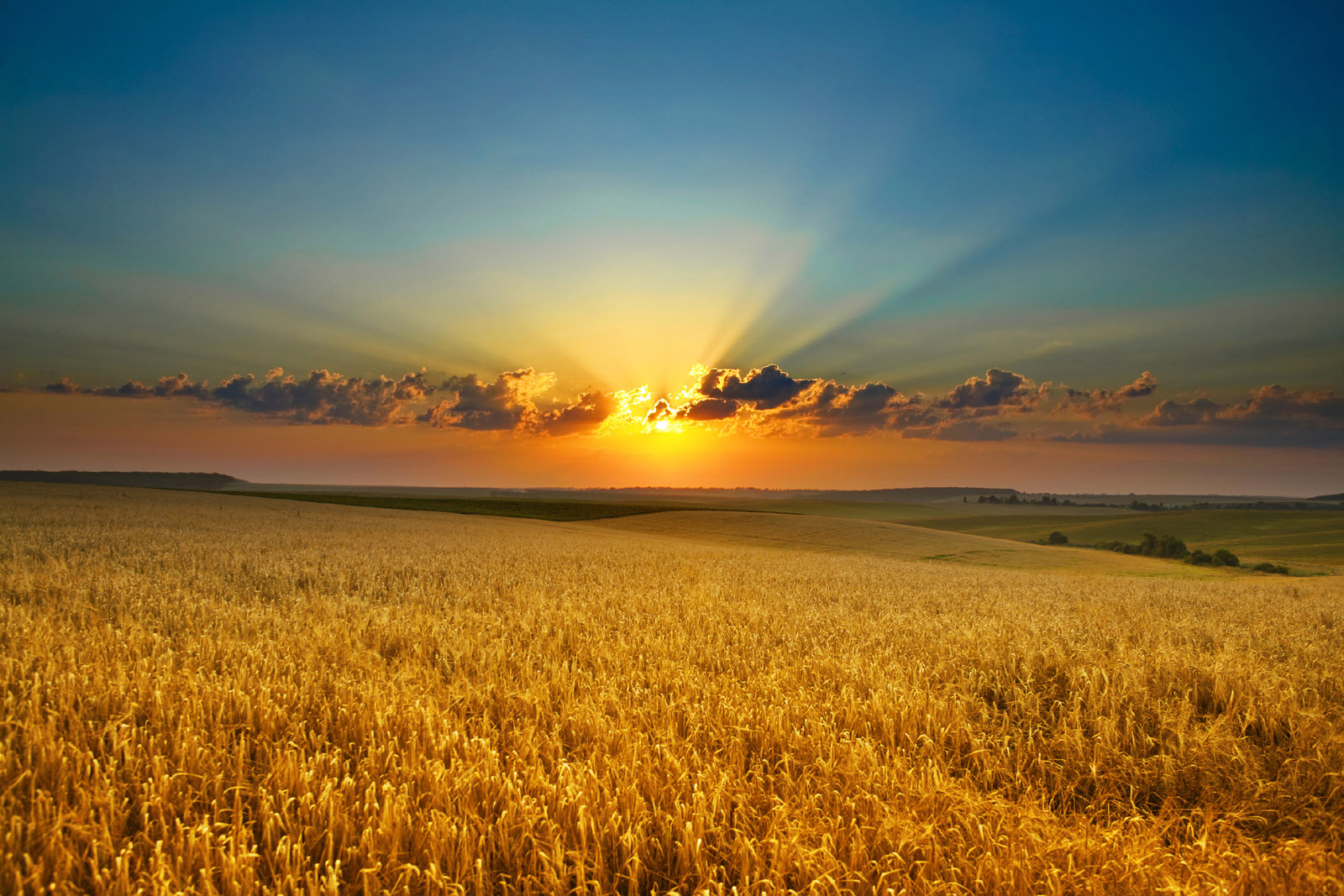 HD wheat fields under the sun 10004