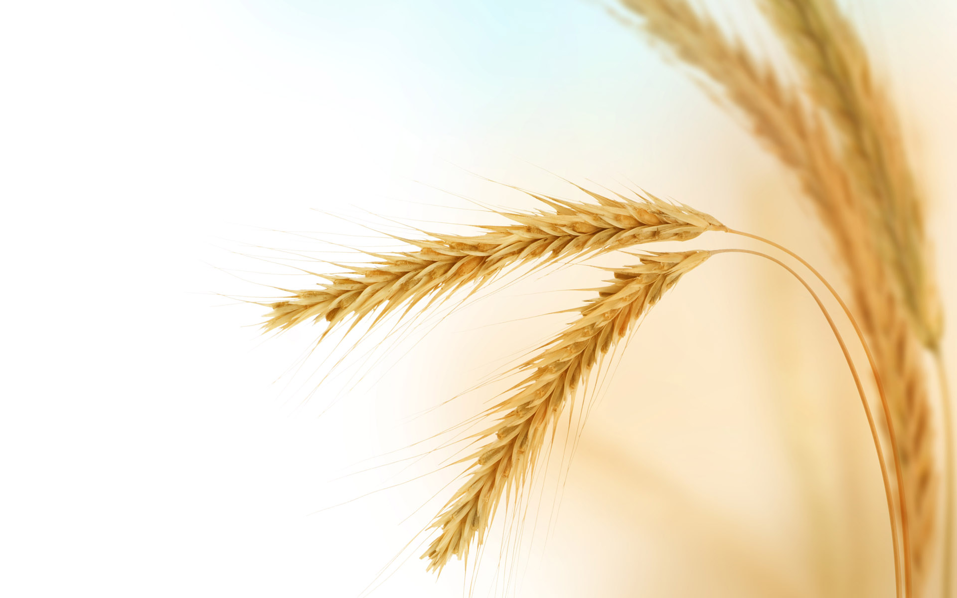 HD wheat crop material 8934