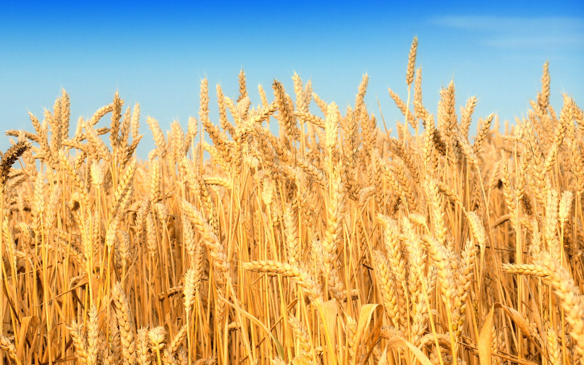 HD wheat crop material 9367