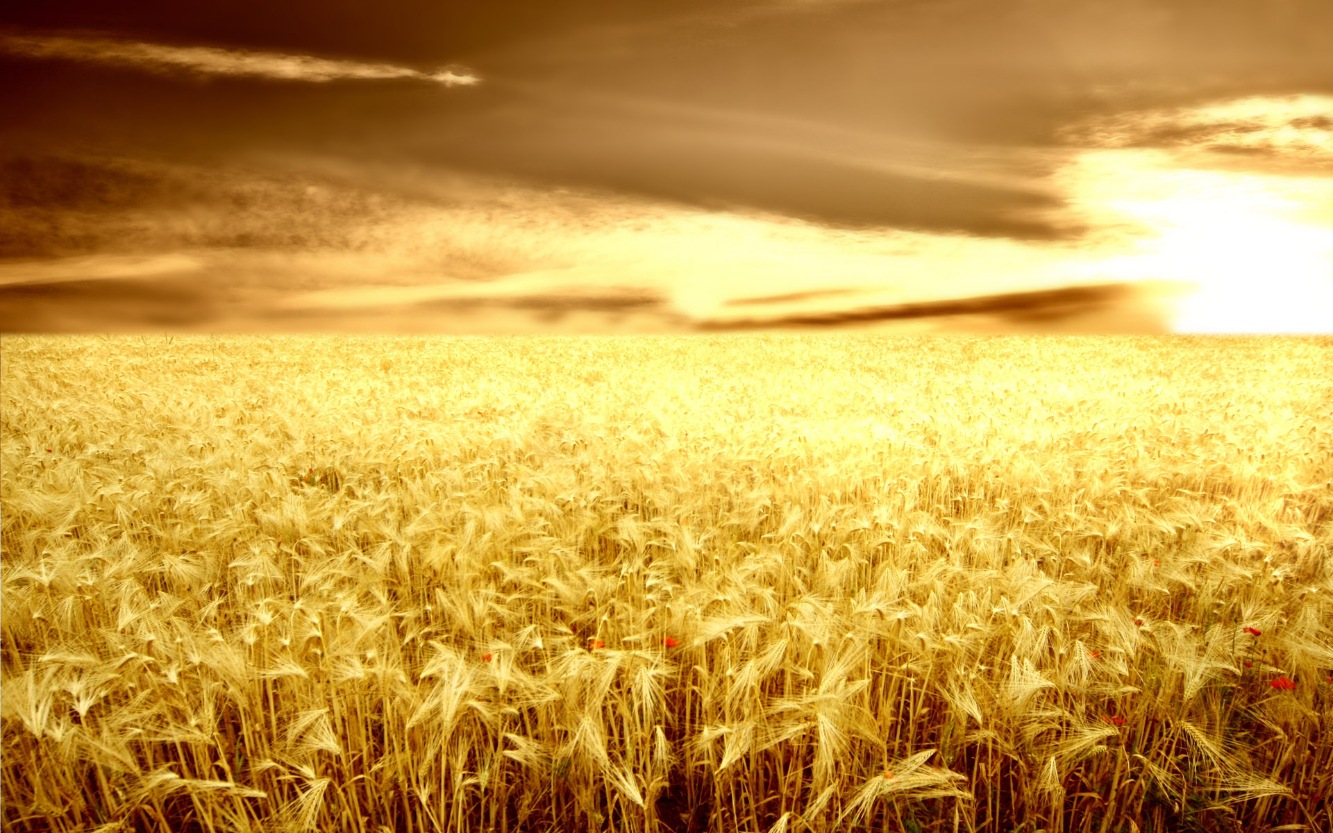 HD wheat crop material 9793