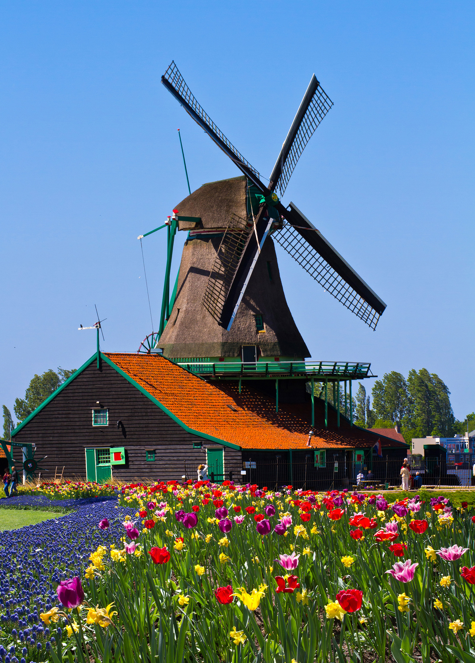 Windmill and colorful tulips 50013