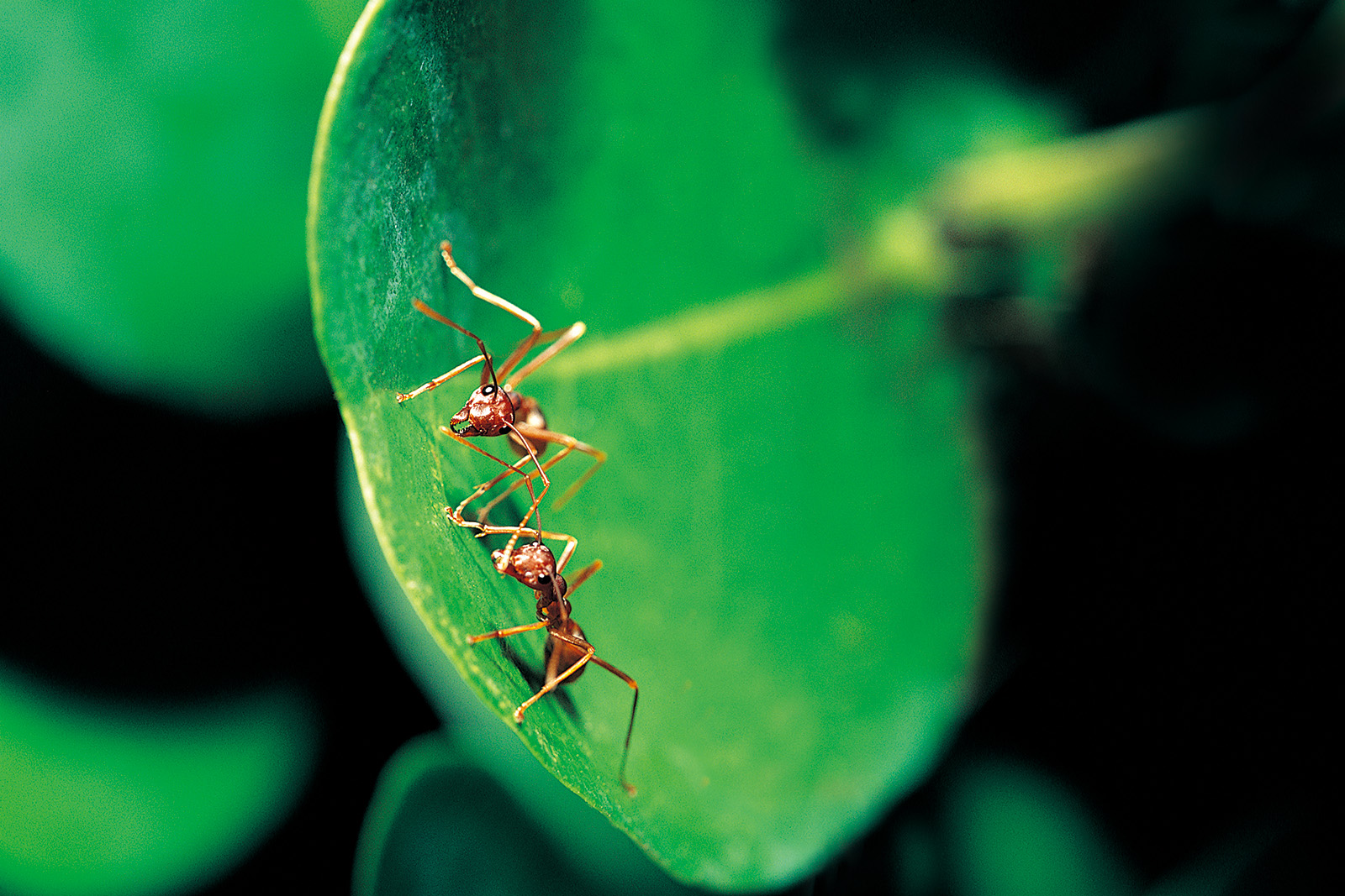 Two ants on a green leaf 50017