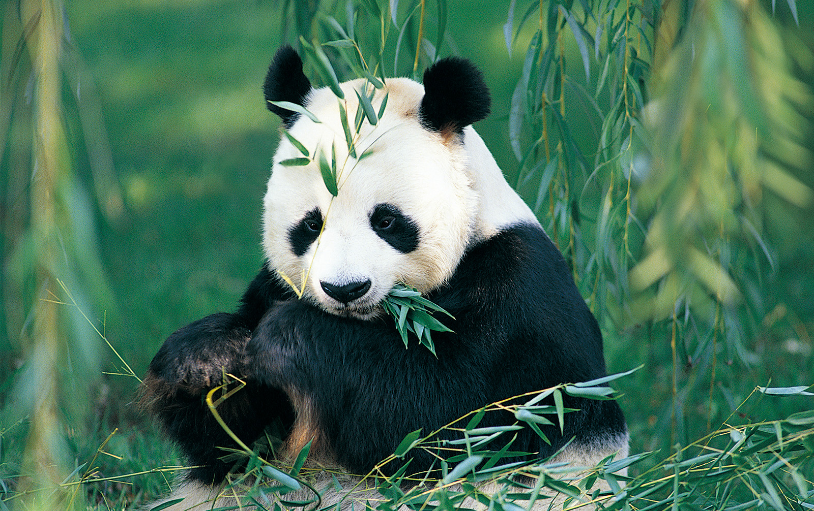 David Panda eating bamboo sitting 50040