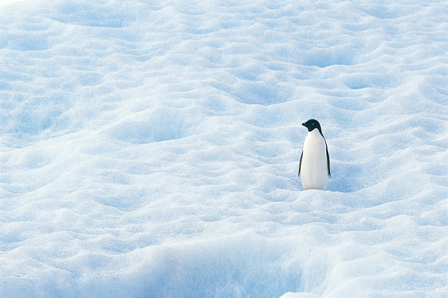 A penguin on the vast snow 50063