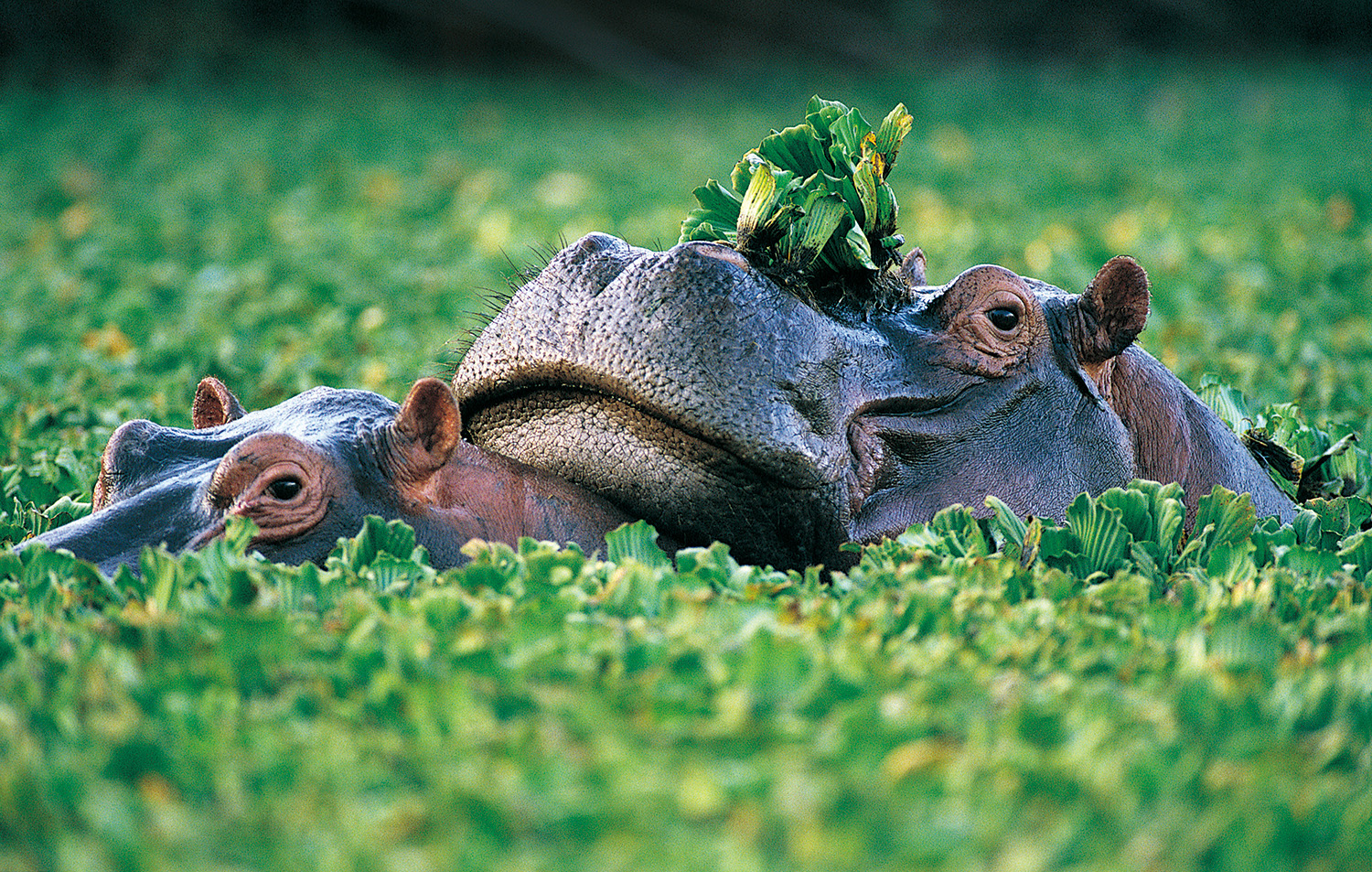 Paddy fields of two hippos 50083