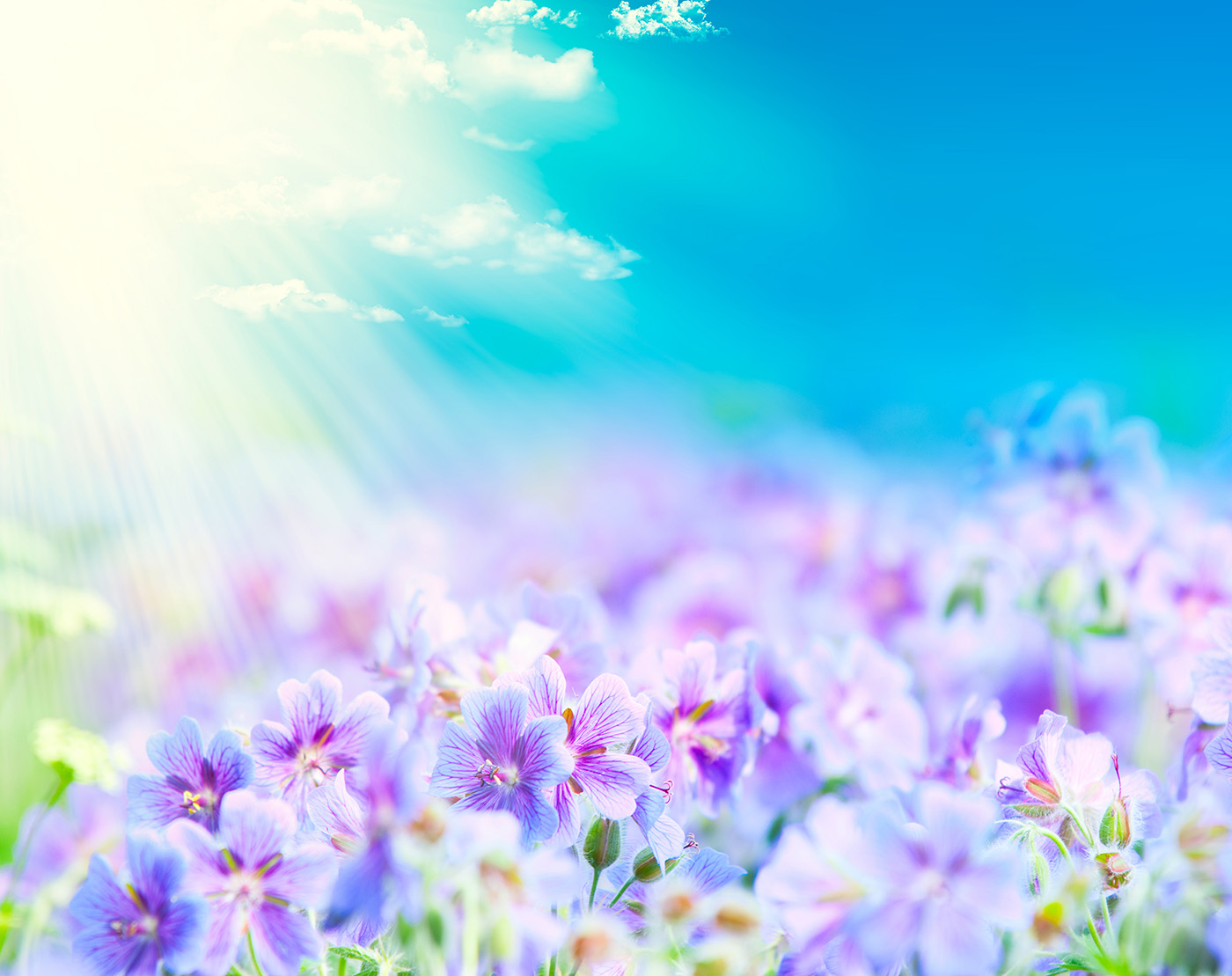 Blue sky with bright purple flowers 50090