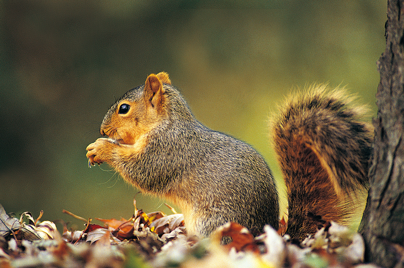 Tilted big tail squirrel 50139