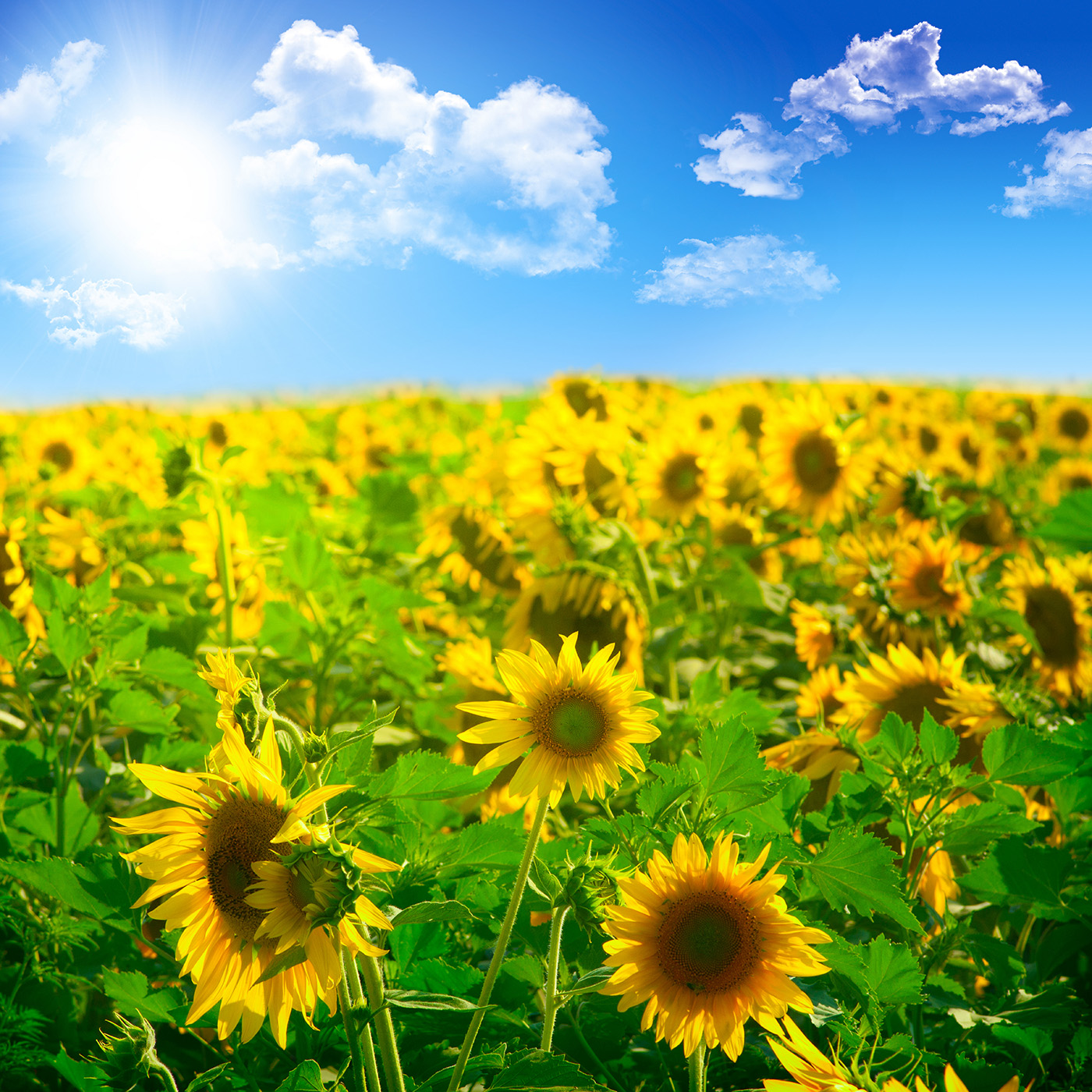 Sunflowers under the sun clouds 50367