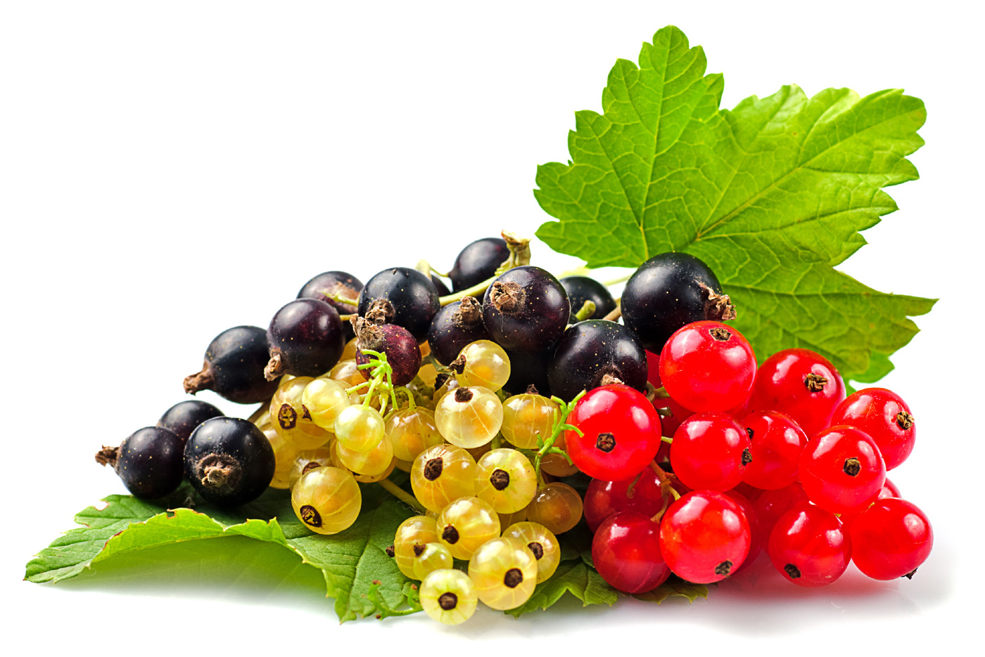 Black Red Yellow Currant 50392