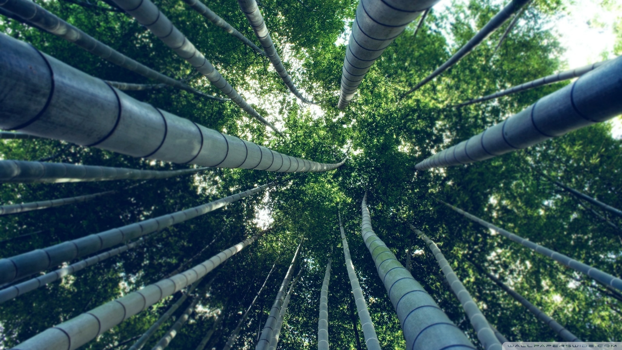 Bamboo forest 50409