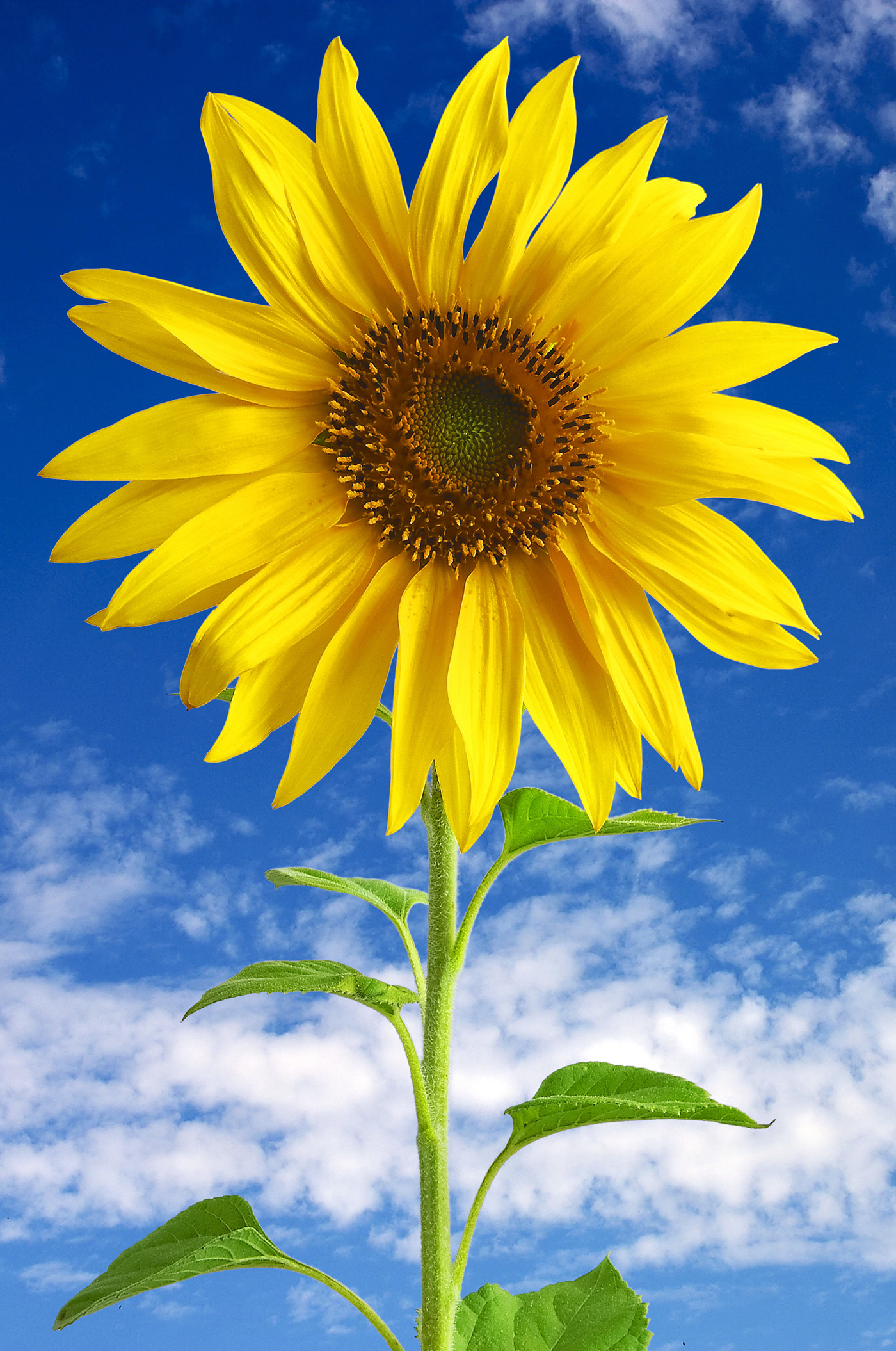 Sunflower 50413