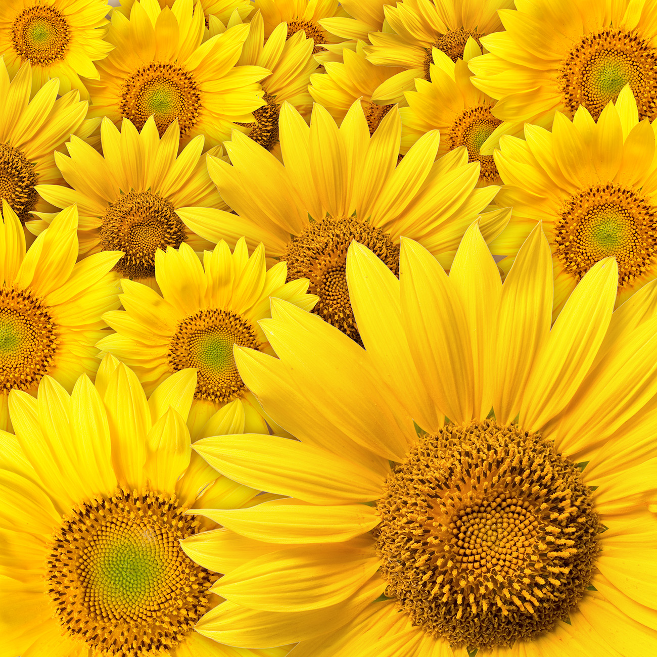 Sunflower 50468