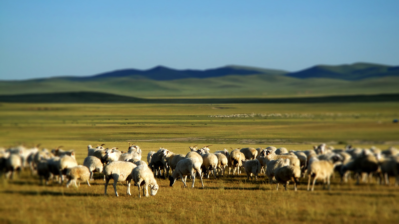 Sheep on the grasslands of Inner Mongolia 50743