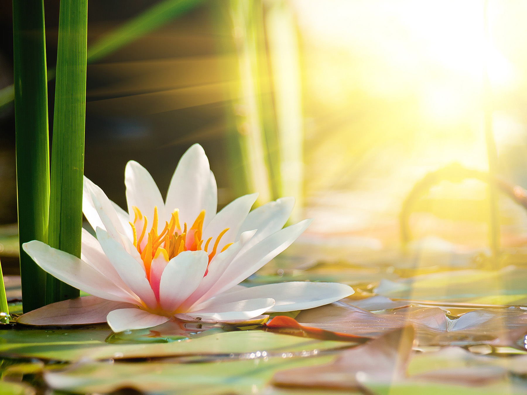 Beautiful lotus flower under the sun 50752