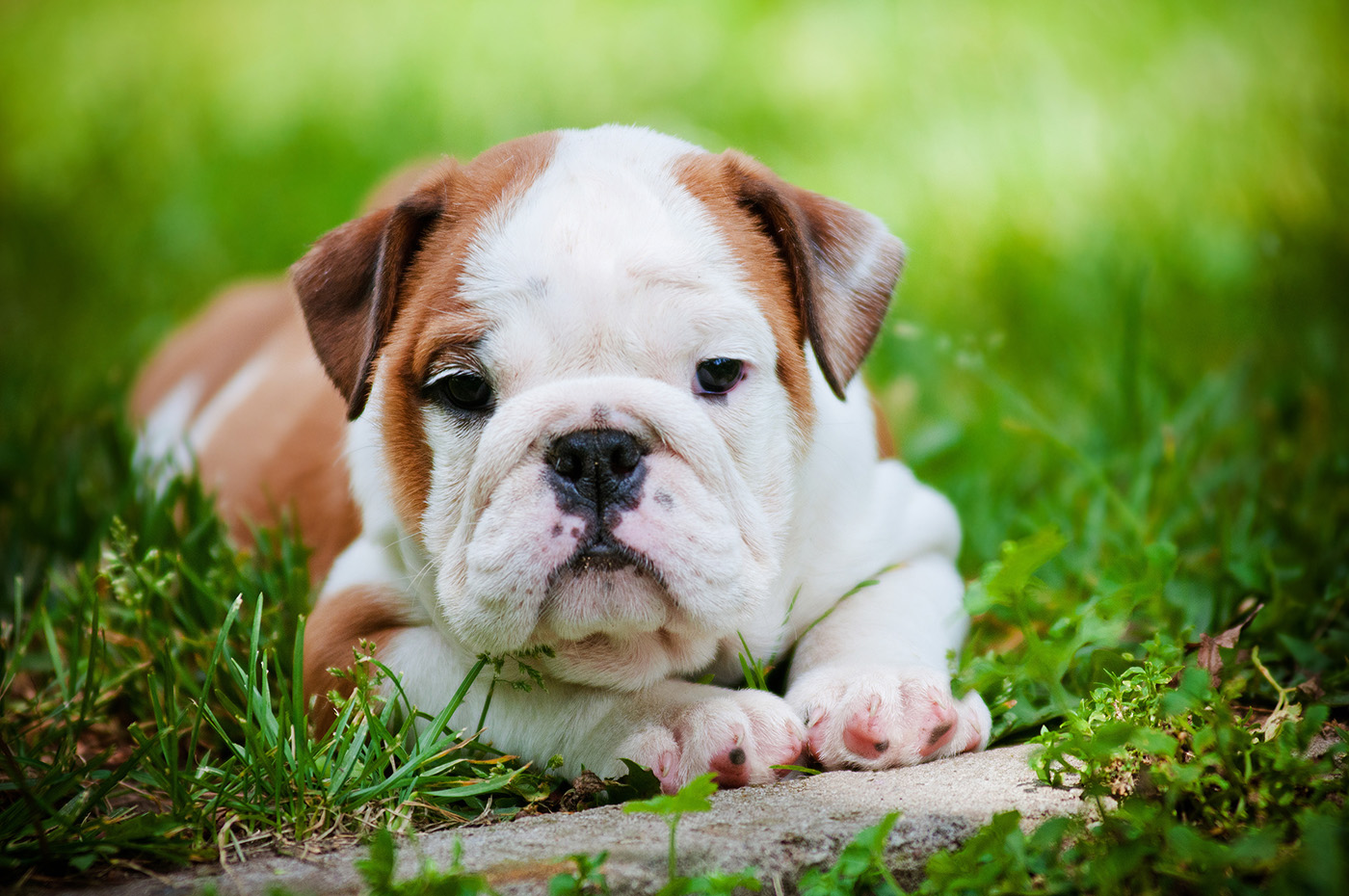 Lying on the grass in the English Bulldog 50768