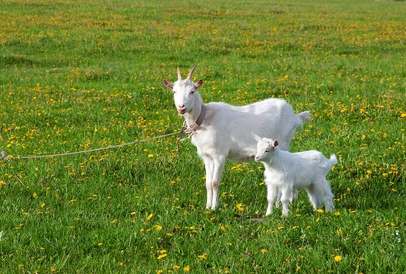 Two goats on the grass backyard 50793