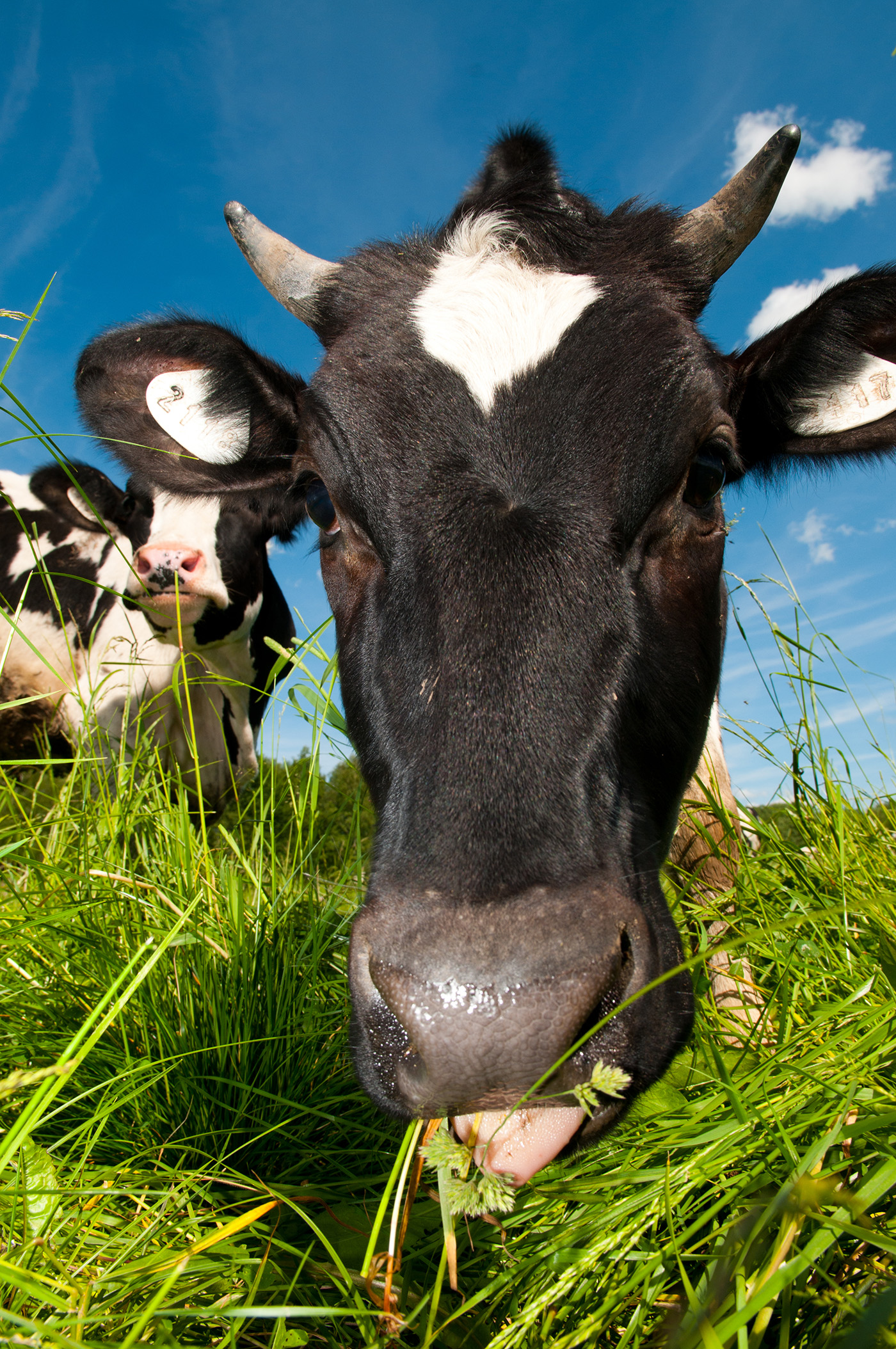 Grazing cows 50810
