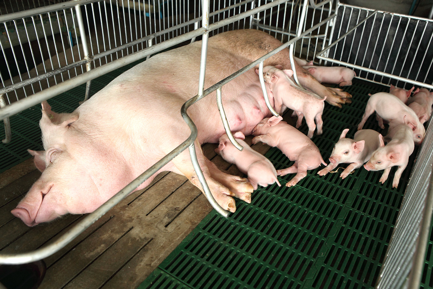 In lactating bunch of little piglets pigs 50818