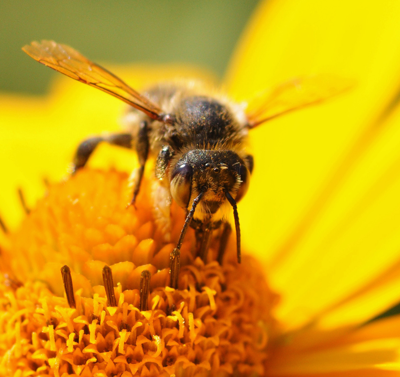 Bees gather nectar 50824