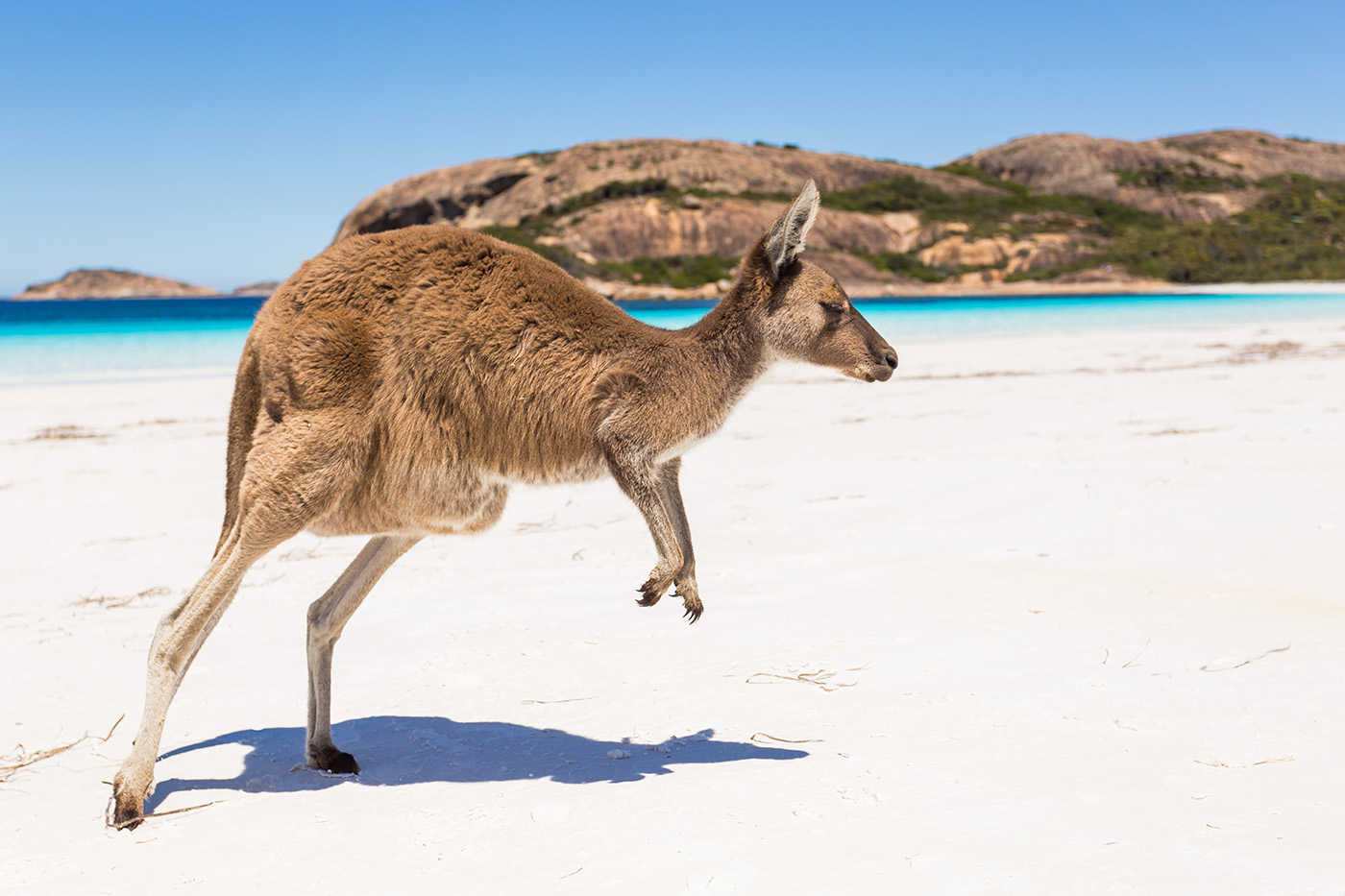 Kangaroo on the beach at the beach running 50876