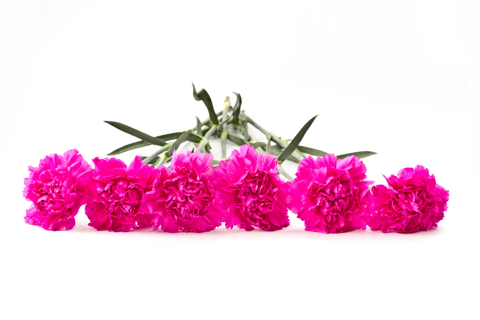 Carnations 50974
