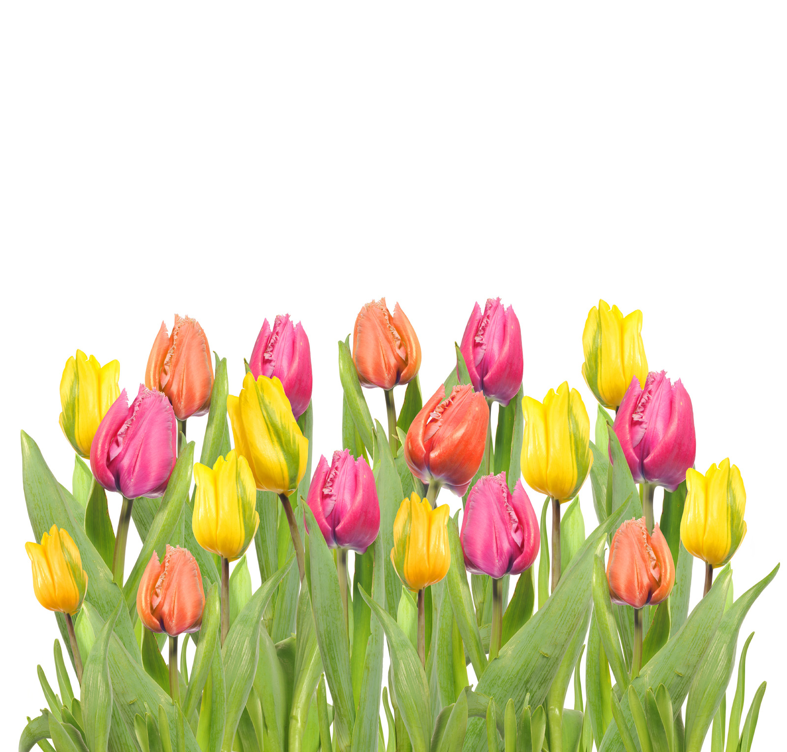 Red, yellow and orange tulips 50997