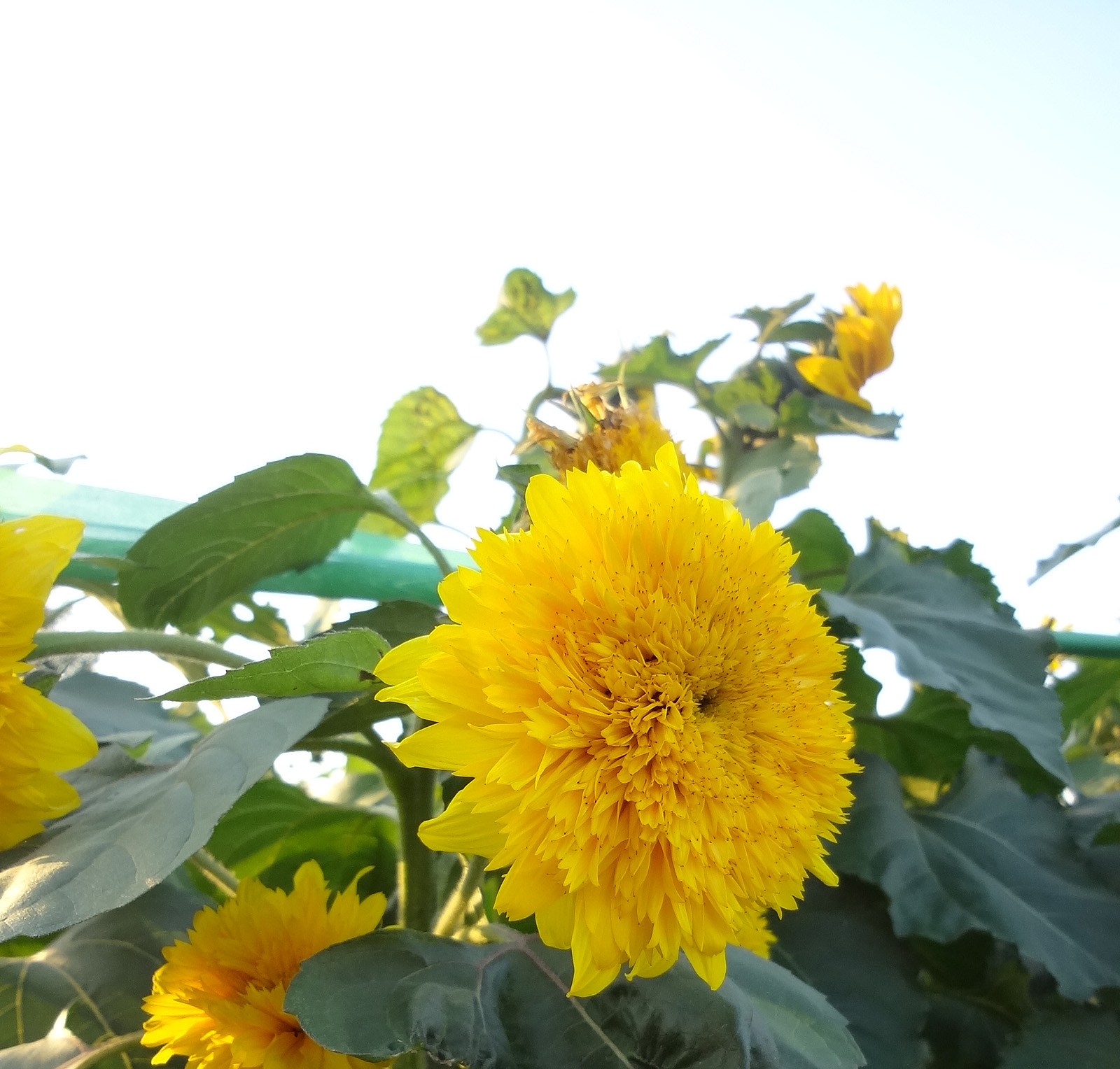 Sunflower 51009