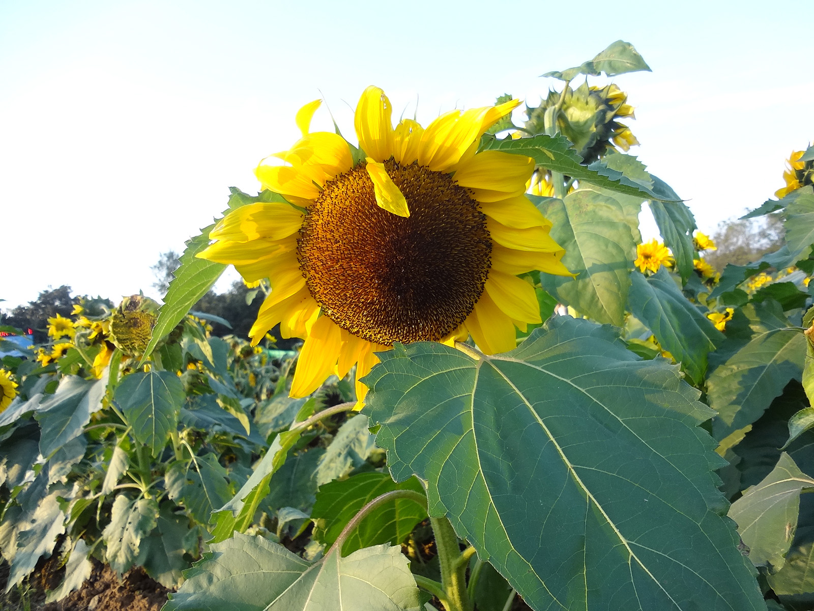 Sunflower 51035