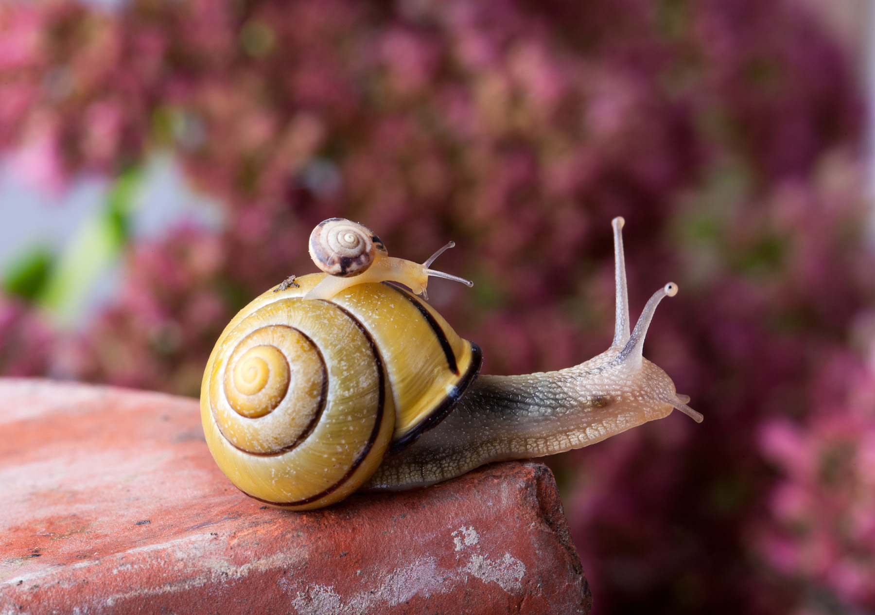 Carrying small snails snails 51680