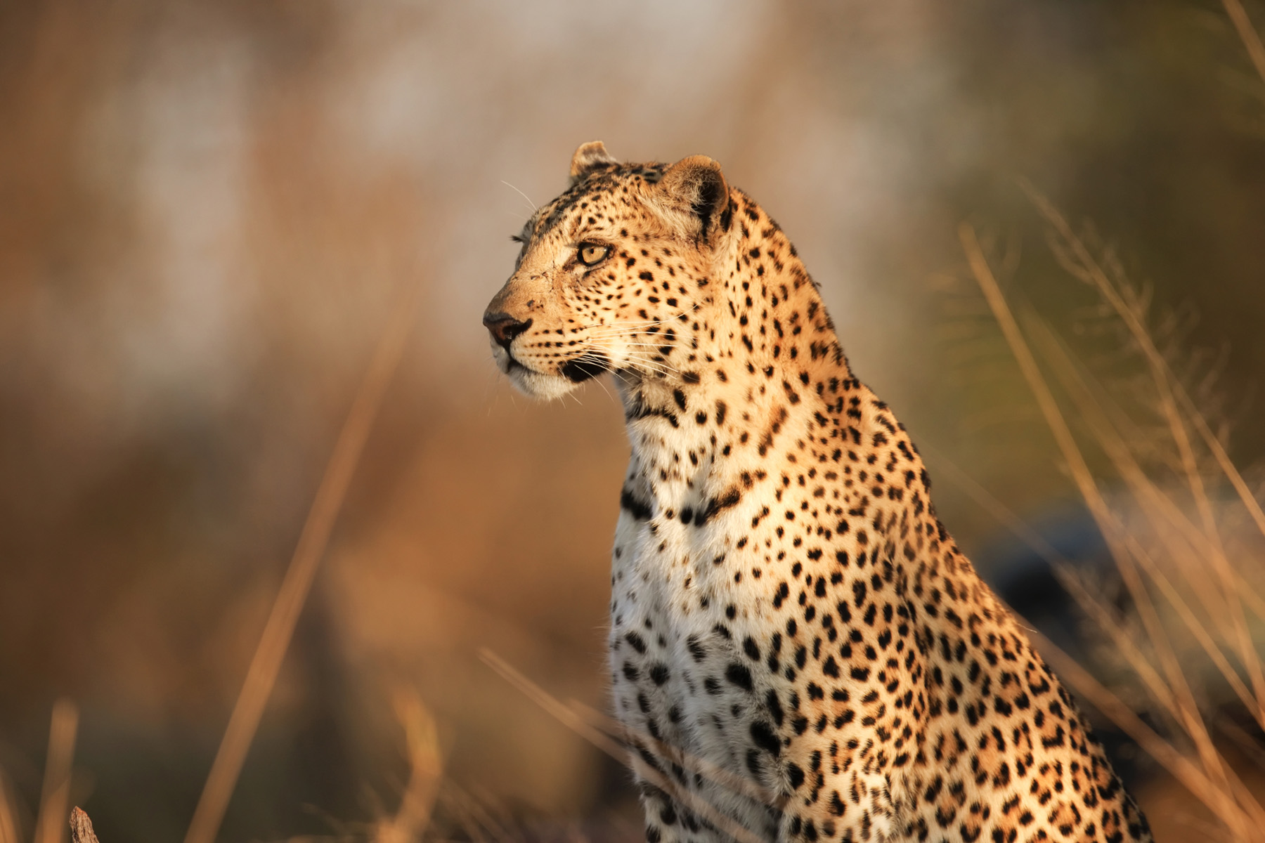 Vigilance on the grassland Leopard 51989