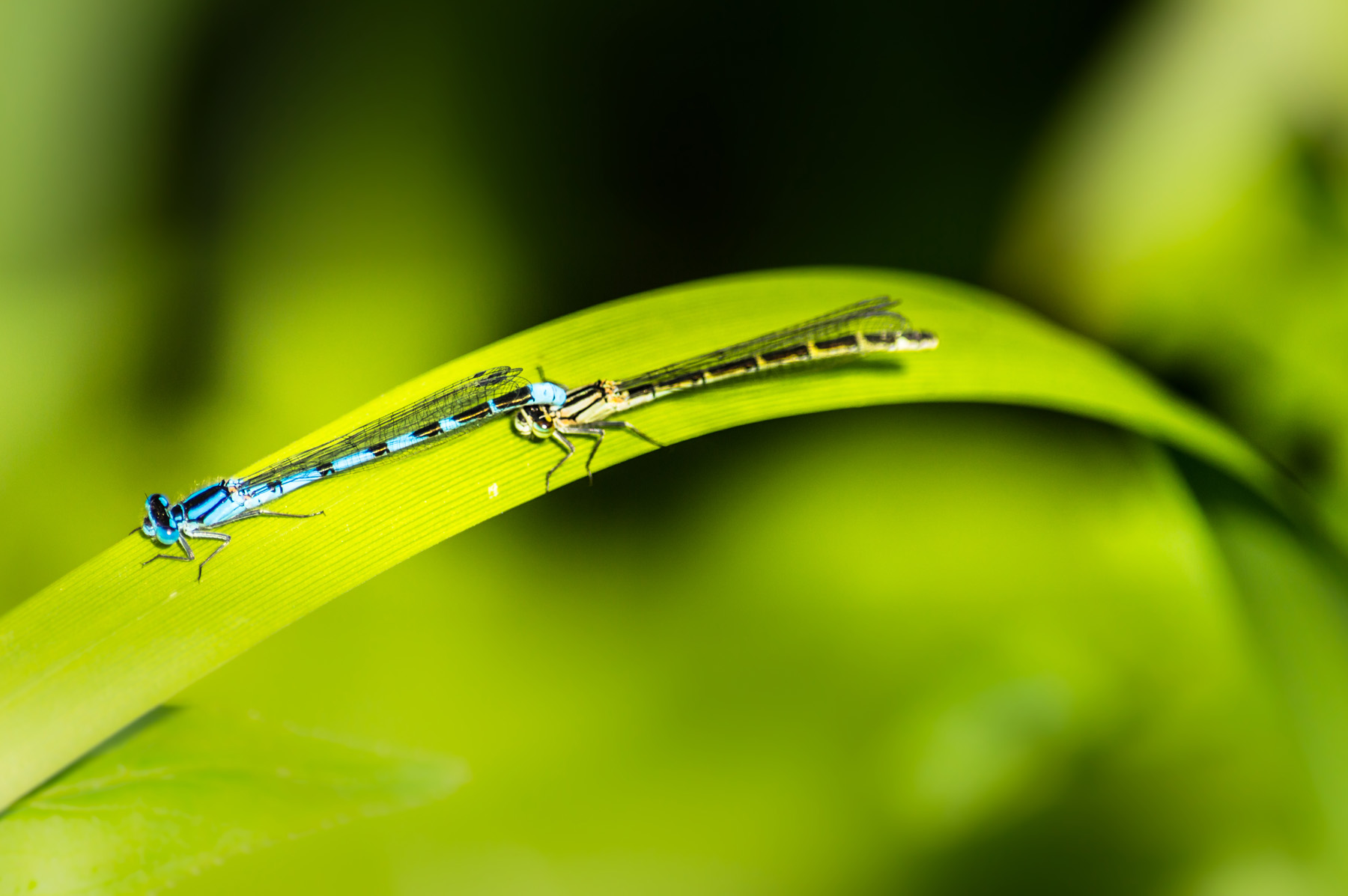 Green leaves of two dragonflies 52008