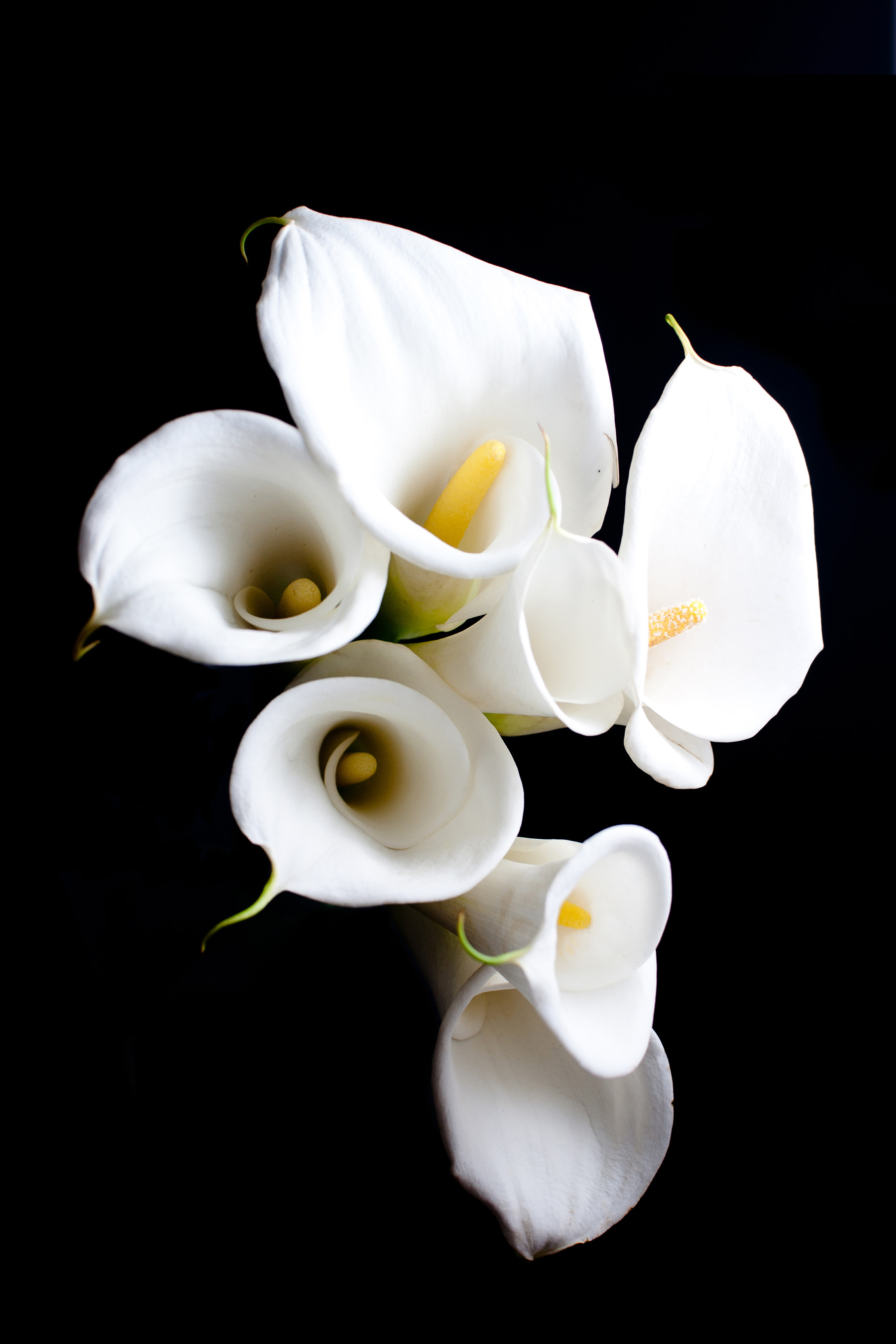 White calla lily flower close-up 52016