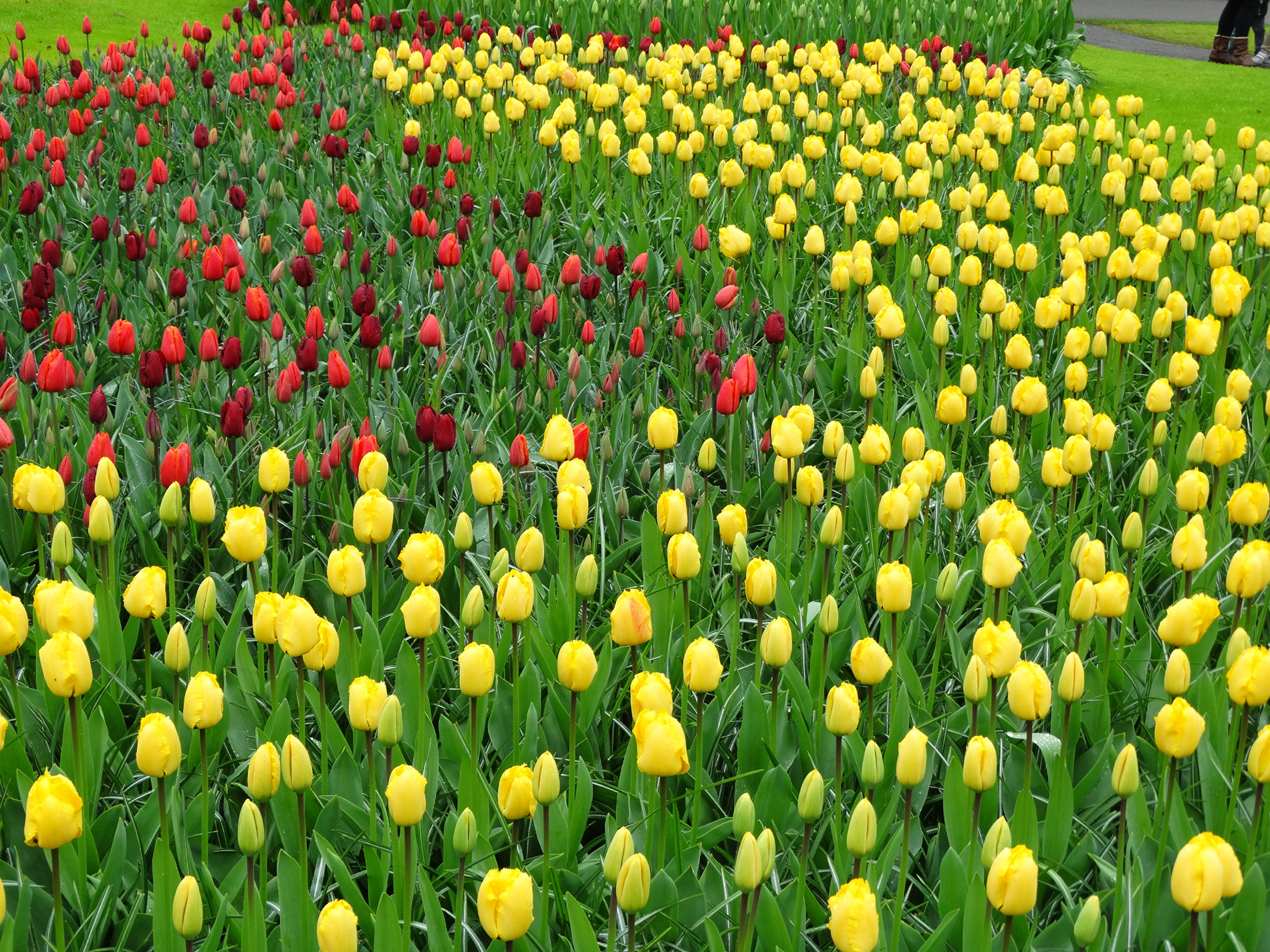 Red and yellow tulips 52302