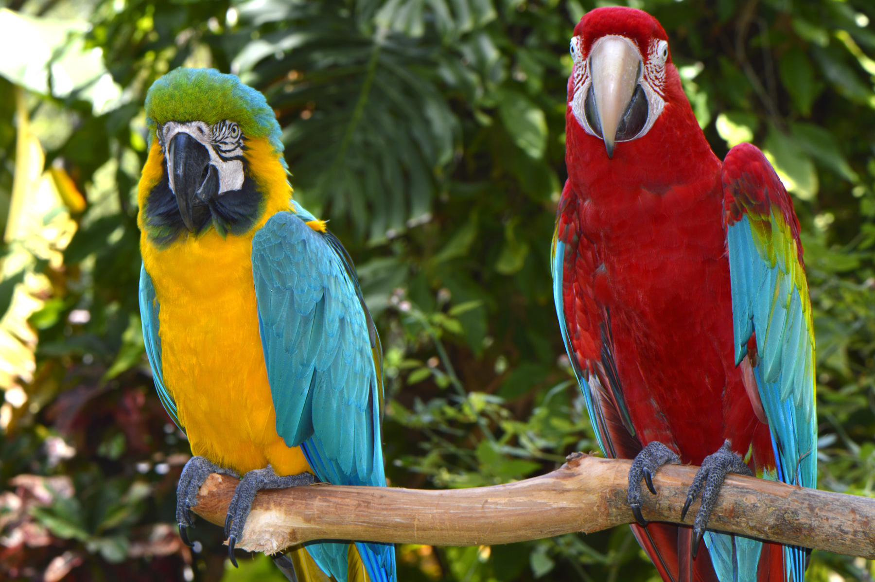 The branches of two macaws 52337