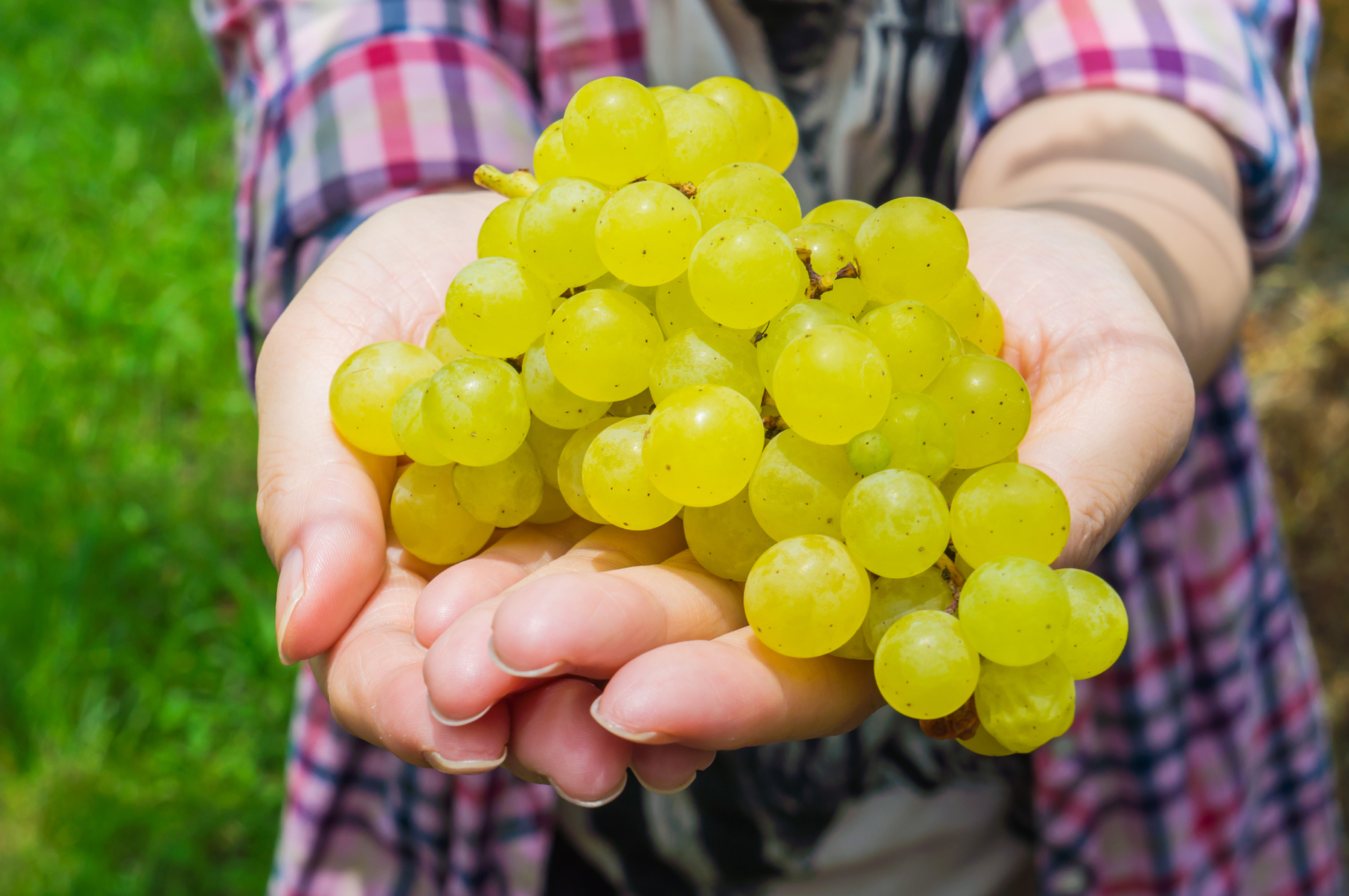 Holding hands in fresh grapes 52578
