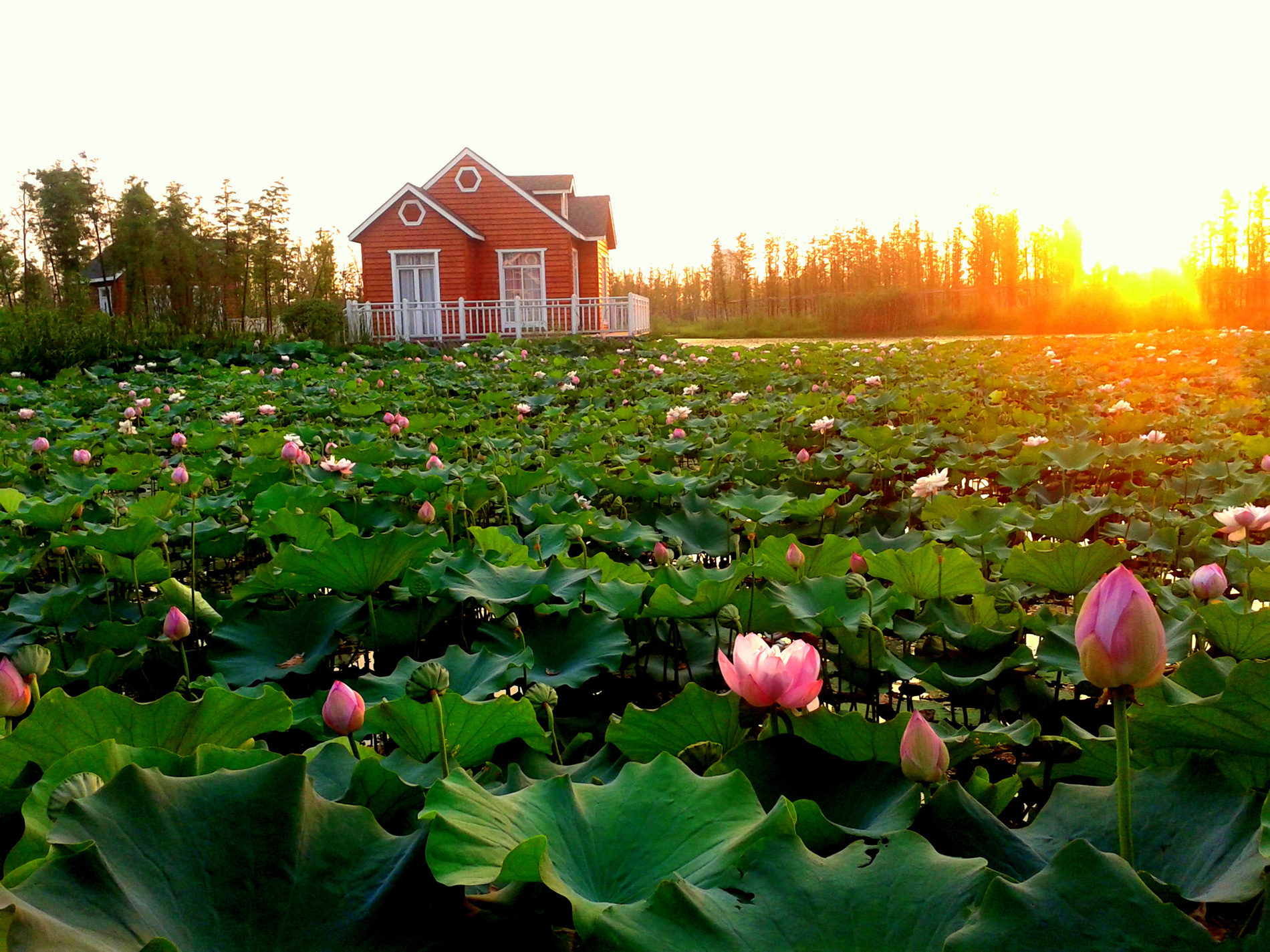 Sunset pond Lotus 52699
