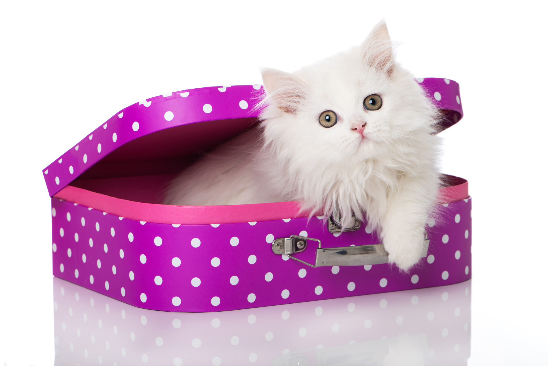 Persian Cat in the purple box 52706